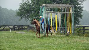 Obstacle work by gaited morgan stallion