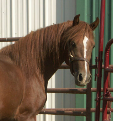 Gaited Morgan Stallion - Jellico Whiskey Lullaby