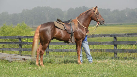 Gaited Morgan Stallion - Eastwest Yonder