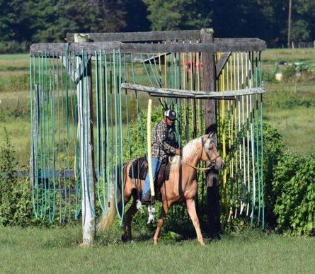 Gaited Morgan Stallion - Jellico Moonshine