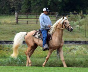 Gaited Morgan Stallions