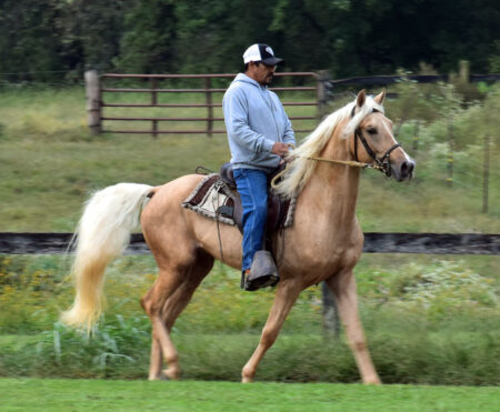 Gaited Morgan Stallion - Jellico Moonshine