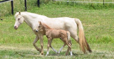 Gaited Morgan Stallion - Jellico El Dorado Gaited Morgan Mare - April Joy