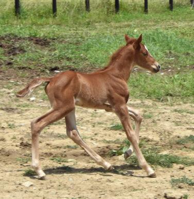 Gaited Morgan Stallion - Jellico Liberty