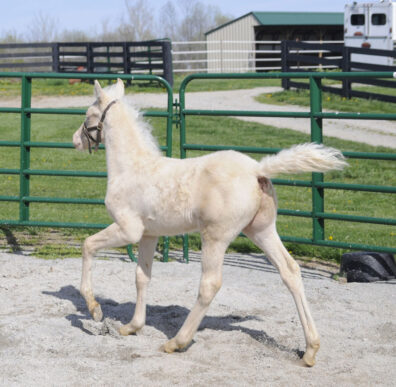 Gaited Morgan Stallion - Jellico Creme De La Creme - 2013