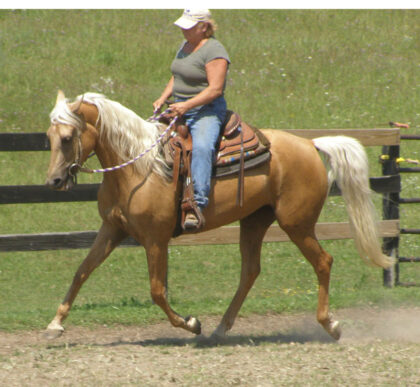 Gaited Morgan Mare - Mary Mels Peaches
