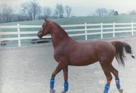 Chandel Laurel 1988