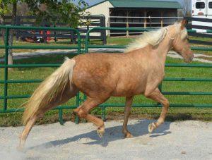 Gaited Morgans mare