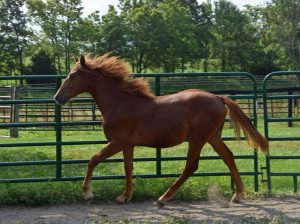 Jellico Liberty Gaited Morgan Colt yearling