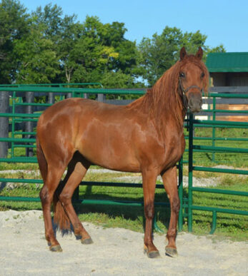 Gaited Morgan Mare - Jellico Rhapsody