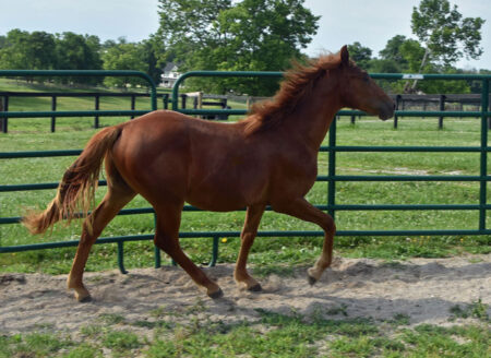 Gaited Morgan Stallion - Jellico Liberty