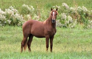 Liberty Gaited Morgan Stallion