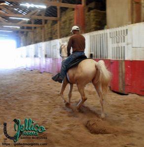 Jellico Creme De La Creme 4 year old Gaited Morgan Stallion