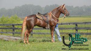 Eastwest yonder Gaited Morgan Stallion
