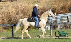 Cody Gaited mrogan stallion