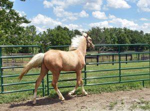 Gaited Morgans stallion
