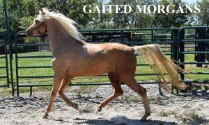 Gaited Morgan Stallion Jellico Moonshine