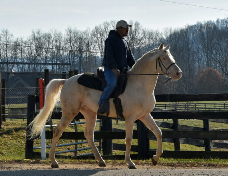 Gaited Morgan Stallion - Jellico Creme De La Creme