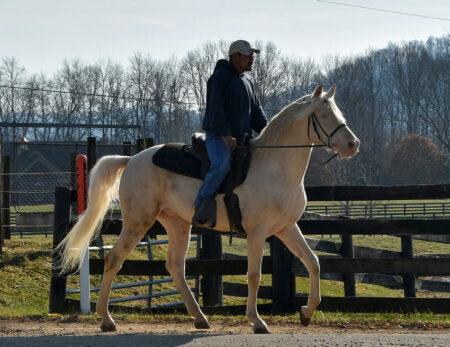 Gaited Morgan Stallion - Jellico Creme De La Creme