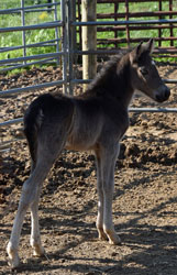 Jellico Wisp 3 days old Gaited Morgan Stallion