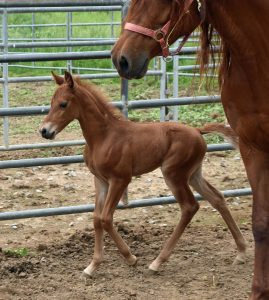 Jellico Sonata one week old Gaited Morgan filly