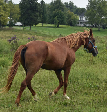 Gaited Morgan Mare - Jellico Irish Rose