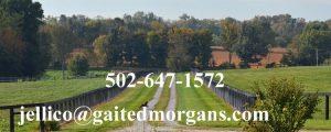 Gaited Morgans Naturally