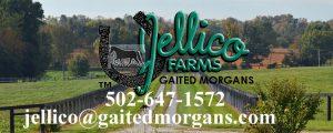 Gaited Morgans