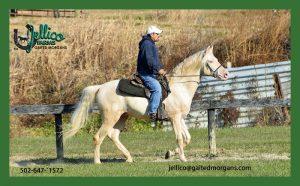 Gaited Morgan Stallion Jellico Creme De La Creme