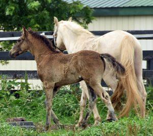 Gaited Morgan stallion