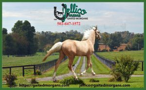 Gaited Morgans photo home