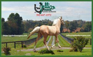 Gaited Stallion