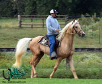 Jellico Moonshine Gaited Morgan stallion owned by Jellico Farms.