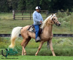 Jellico Farms Gaited Morgan stallion