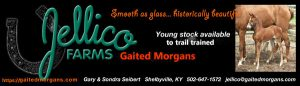 Jellico Gaited Morgans Young Stock