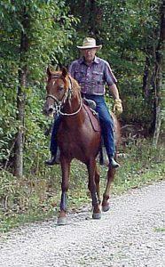 Buddy a Gaited Morgan Stallion