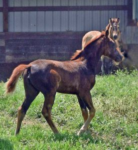 Gaited Morgan Filly Jellico Sonata