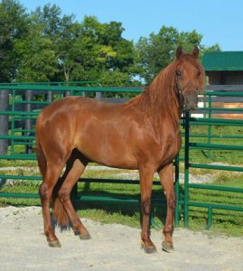 one of three sibling mares