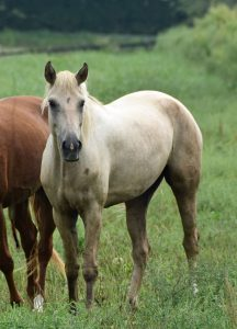 palomino Gaited Morgan mare