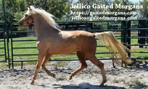 This demonstrates the smooth movement of naturally Gaited Morgans